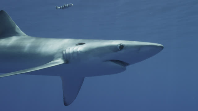 blue shark looks around in blue ocean, azores - atlantic islands stock videos & royalty-free footage