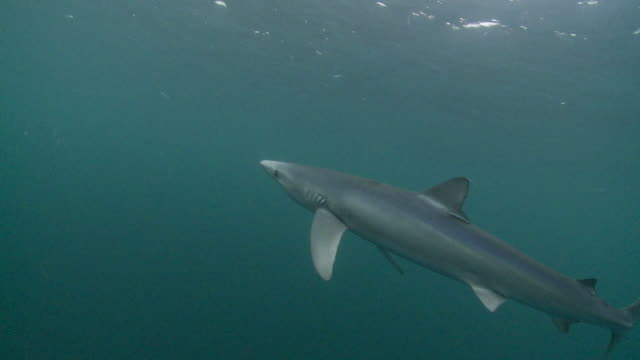 blue shark swimming through ocean - pembrokeshire stock videos and b-roll footage
