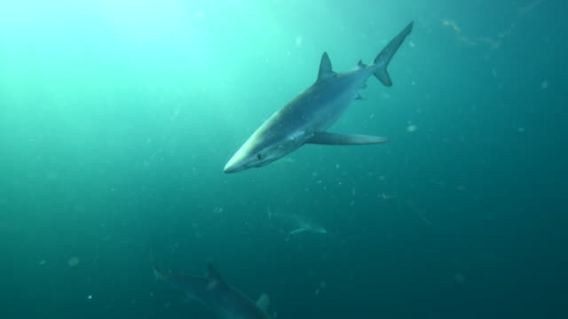 Blue shark swimming towards camera and bumping lens