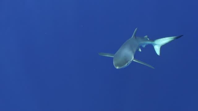 Blue shark swimming towards the camera coming up from deeper water, at the dive site called Azores Banks, The Azores, Portugal.