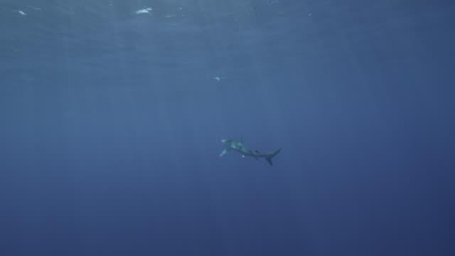 blue shark swims away in blue ocean, azores - pelagic zone stock videos & royalty-free footage