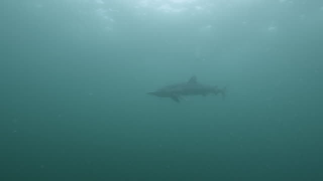 blue shark (prionace glauca) swims away in sea, cornwall, england - atlantic ocean stock videos and b-roll footage