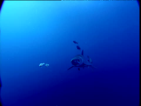 vídeos de stock e filmes b-roll de blue shark swims followed by pilot fish, eats scraps, bumps nose on camera and swims away - peixe piloto