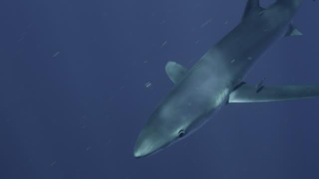 blue shark swims in blue ocean, azores - pelagic zone stock videos & royalty-free footage
