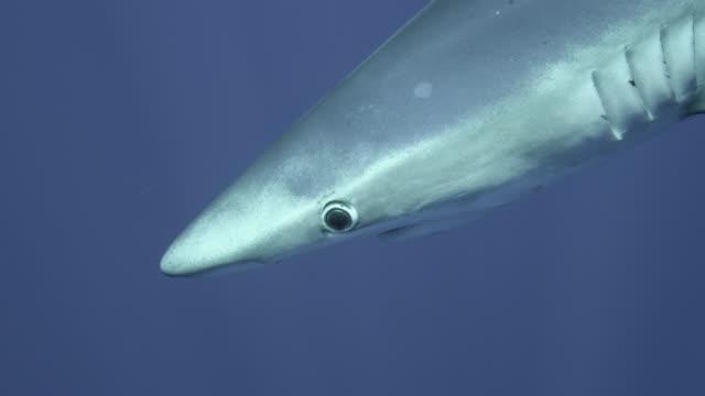 blue shark swims in blue ocean, azores - sunbeam stock videos & royalty-free footage