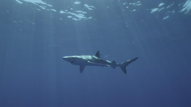 blue shark swims in blue ocean, azores - ブリモドキ点の映像素材/bロール