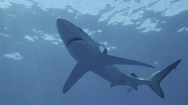 blue shark swims in blue ocean, azores - pilot fish stock videos & royalty-free footage