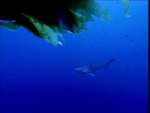 stockvideo's en b-roll-footage met blue shark swims past kelp towards camera, california - kelp