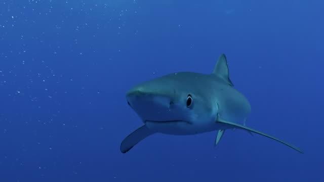 Blue shark swims straight at camera then camera tracks the shark, The Azores, Portugal.