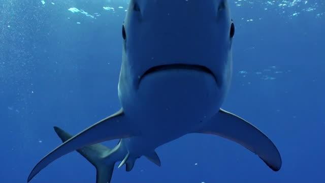 vídeos de stock, filmes e b-roll de blue shark swims straight to camera, at the dive site called azores banks, the azores, portugal. - ilhas do oceano atlântico