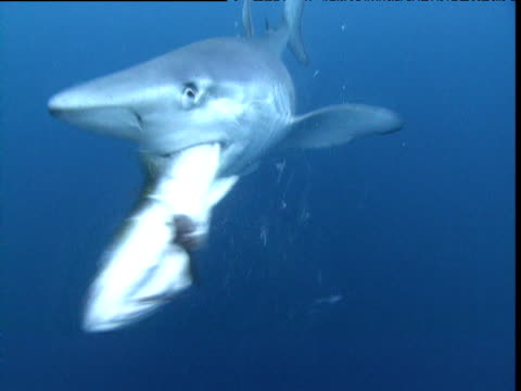 blue shark swims towards camera, grabs fish then thrashes it to pieces, california - 食べさせる点の映像素材/bロール