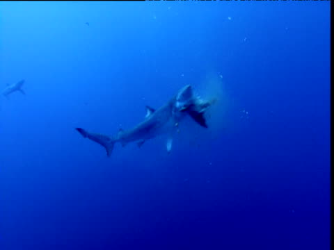 blue shark thrashes fish into bite size pieces, california - feeding点の映像素材/bロール