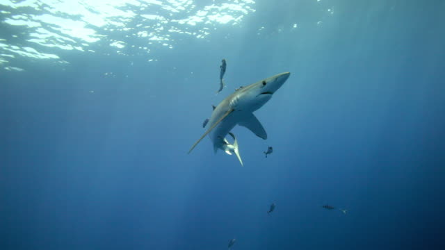 blue shark - pilot fish stock videos and b-roll footage