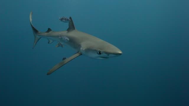 vidéos et rushes de blue shark - poisson pilote