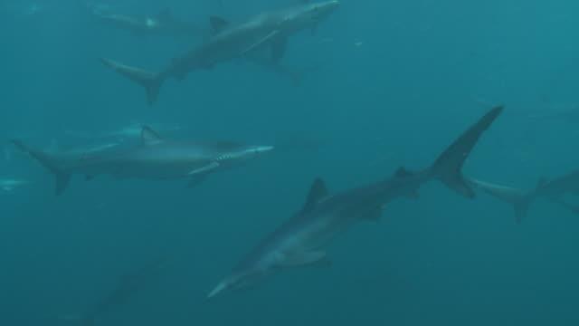 blue sharks swarm in huge numbers - ペンブローク点の映像素材/bロール