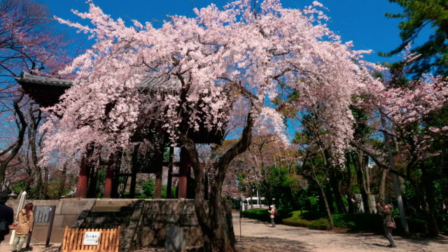 blue sky and cherry blossom walking motion shot from zojoji temple - tokyo japan stock videos & royalty-free footage