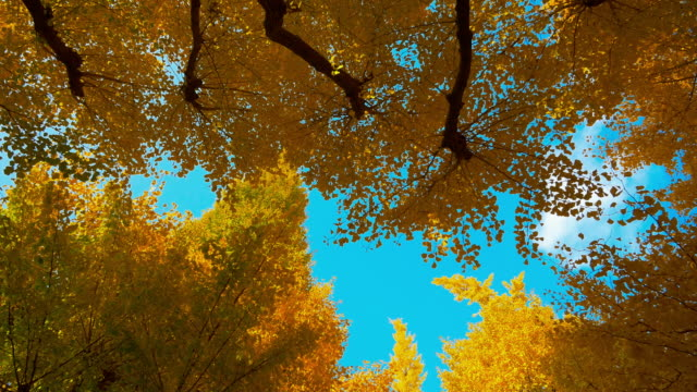 blue sky and ginkgo tree moving slider shot at jingu gaien - directly below stock videos & royalty-free footage