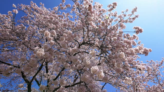 blue sky himeji castle and cherry blossom walking motion shot - cherry blossom stock videos & royalty-free footage