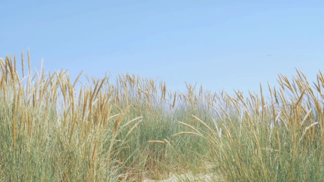 blue sky, marram grass blowing in the wind. - marram grass stock videos and b-roll footage
