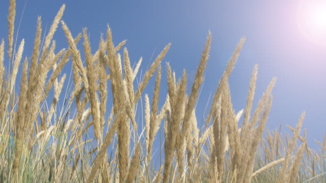 blue sky, sunshine and long grass. ds. - serenità video stock e b–roll