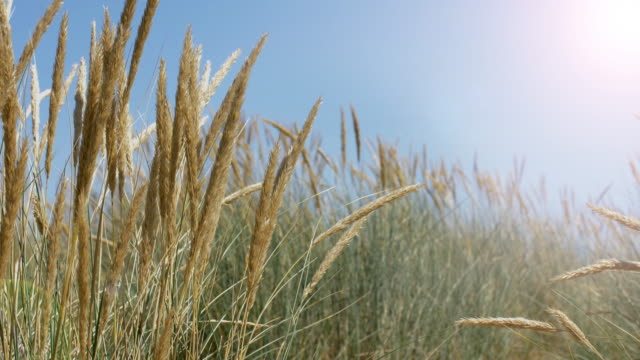 blue sky, sunshine and marram grass. ds. - reed grass family stock videos & royalty-free footage