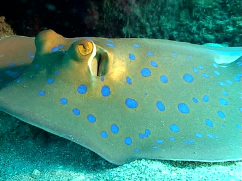 blue spot stingray resting on sand under and overhang, breathing ws - bluespotted stingray stock videos & royalty-free footage