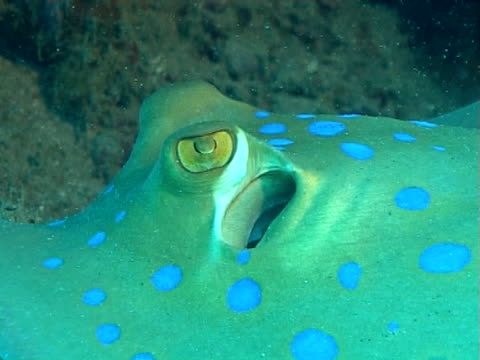 blue spot stingray resting on sand under and overhang, eye detail cu - bluespotted stingray stock videos & royalty-free footage