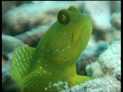 blue spotted shrimp goby fish, cu head, zoom out to goby resting on coral, mabul, borneo, malaysia - 動物の色点の映像素材/bロール