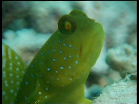 blue spotted shrimp goby fish, cu head, zoom out to goby resting on coral, side view, mabul, borneo, malaysia - 動物の色点の映像素材/bロール