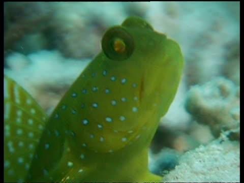 vídeos y material grabado en eventos de stock de blue spotted shrimp goby fish, cu head, zoom out to goby resting on coral, side view, mabul, borneo, malaysia - patrones de colores