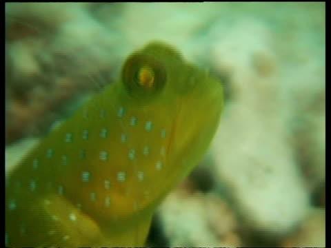 vídeos y material grabado en eventos de stock de blue spotted shrimp goby fish, cu head, zoom out to shrimp in burrow next to goby fish, both dart into burrow, mabul, borneo, malaysia - patrones de colores