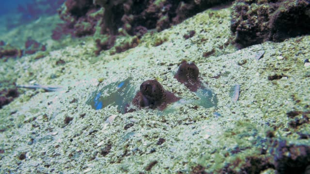 vídeos de stock e filmes b-roll de blue spotted stingray (neotrygon kuhlii) camouflaged ambush - enterrado