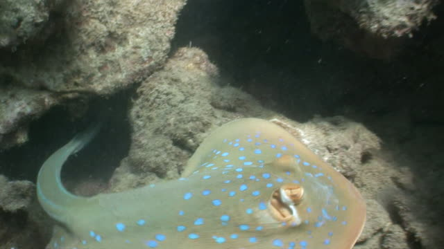 MS Blue Spotted stingray coming from coral reef  AUDIO / Queensland, Australia