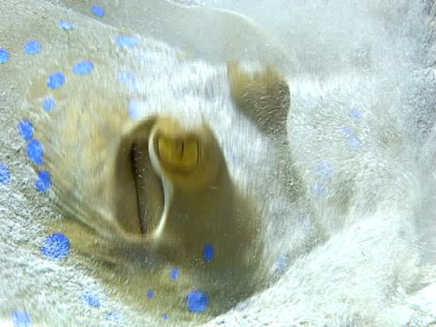 blue spotted stingray (taeniura lymma).  digs into sand; feeding. red sea - tauchgerät stock-videos und b-roll-filmmaterial