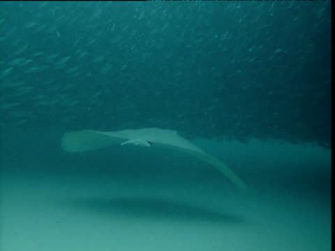 Blue spotted stingray swims underneath spawning ball of sardines, Durban