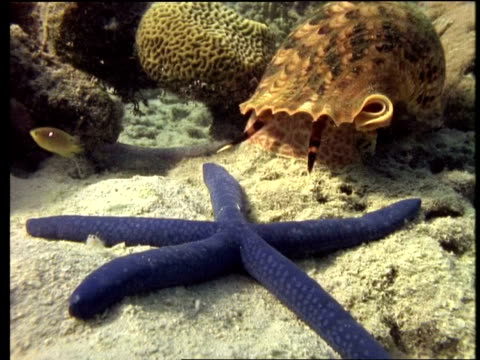 CU Blue starfish and large mollusc shell