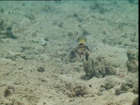 stockvideo's en b-roll-footage met blue streak goby carries coral fragment to heaped pile, tonga - ongewerveld dier