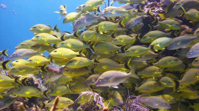 blue striped and french grunts, school at snapper ledge, florida keys, close shot. - nosy stock videos and b-roll footage