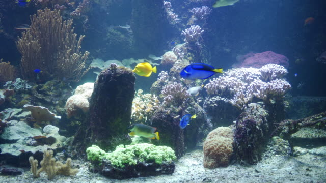 blue tang fish and yellow tang fish swimming by the coral reef - tropical fish stock videos & royalty-free footage