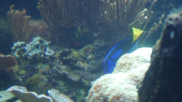 blue tang fish exploring the reef - tropical fish stock videos & royalty-free footage