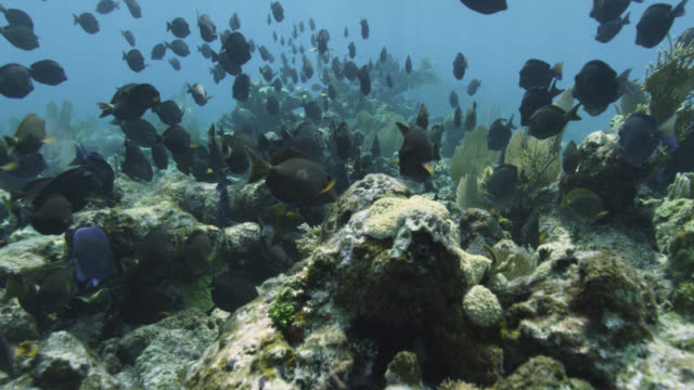 blue tangs and surgeonfishes swim over reef, belize - ソフトコーラル点の映像素材/bロール