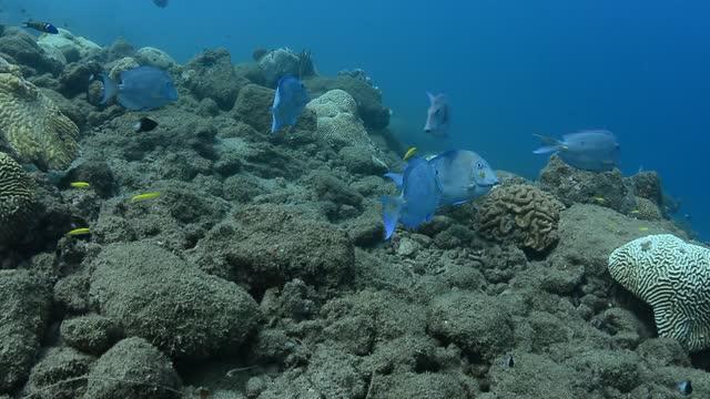 blue tangs being cleaned by blueheads. - dykarperspektiv bildbanksvideor och videomaterial från bakom kulisserna
