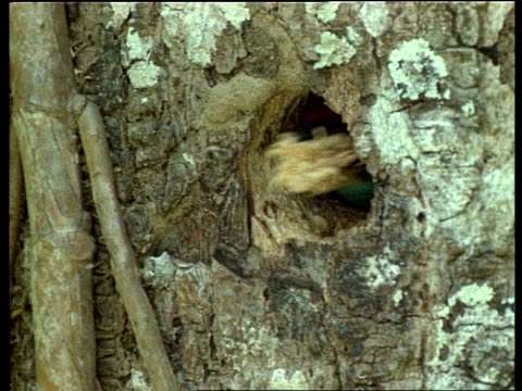 cu blue throated barbet head appearing at nest hole with beak of sawdust, india - appearance stock videos & royalty-free footage
