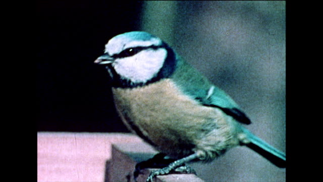 cu blue tit and green finch eating on a bird table; 1978 - 1978 stock videos & royalty-free footage