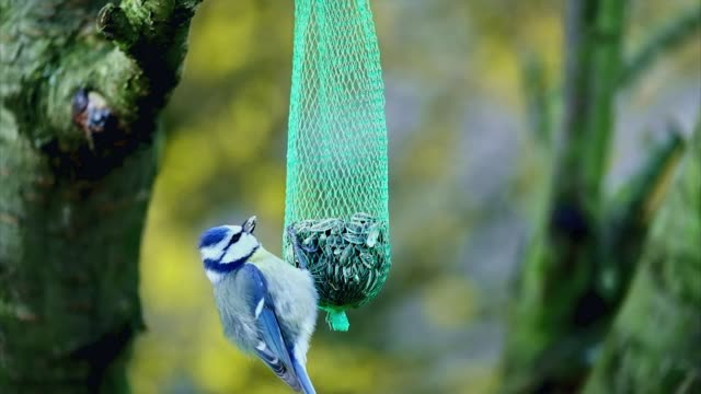 blue tit bird eating on bird feeder - seed stock videos & royalty-free footage