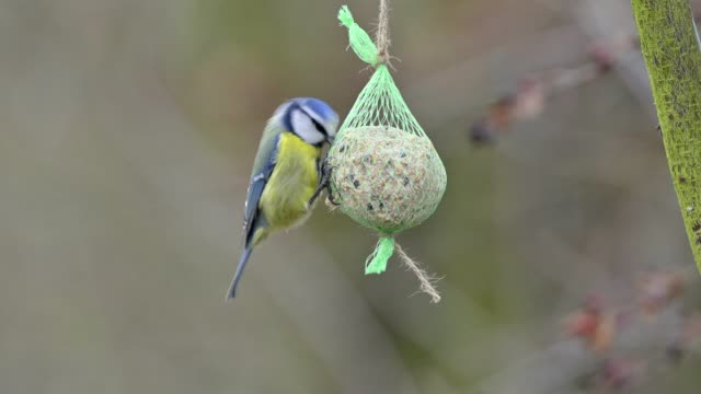 stockvideo's en b-roll-footage met blue tit, cyanistes caeruleus, on fat ball in winter - formal garden