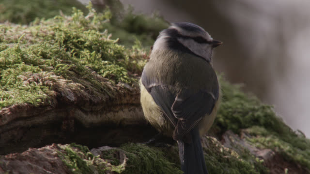 blue tit (cyanistes caeruleus) enters nest hole in oak tree, cumbria, england - oak stock videos and b-roll footage