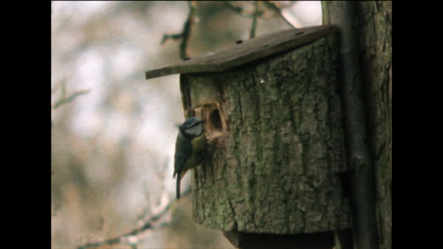 blue tit investigating a bird box mounted to a tree; 1978 - 1978 stock videos & royalty-free footage