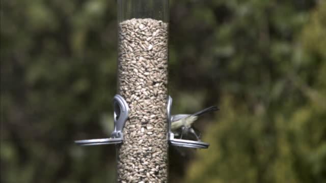 Blue tit (Cyanistes caeruleus) lands and perches on garden bird feeder, UK