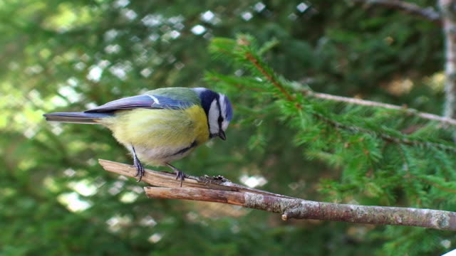 blue tit on the branch - songbird stock videos & royalty-free footage
